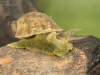 Freshwater snail (Radix sp.)