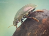 Great silver water beetle (Hydrophilus piceus)