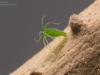 Green hydra (Hydra viridissima)