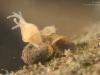 Hydra (Hydridae)