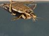 Lesser diving beetle (Acilius sulcatus)