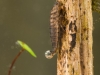 Marsh beetle larva (Scirtidae)