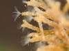 Moss animals (Plumatella fruticosa)