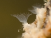 Moss animals (Plumatella repens)