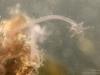 Naiadid worm (Dero digitata)