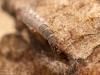Net-spinning caddisfly larva (Hydropsychidae)