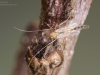 Non-biting midge (Chironomidae)