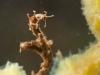 Non-biting midge larvae (Chironomidae, Rheotanytarsus)