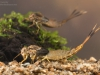 Summer mayfly nymphs (Siphlonurus lacustris)