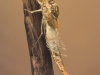 Summer mayfly nymph (Siphlonurus lacustris)