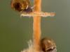 Freshwater snails (Planorbarius corneus) juvenil