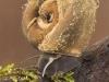 Great ramshorn snail (Planorbarius corneus)