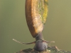 Ramshorn snail (Planorbis planorbis)