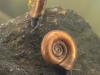 Ramshorn snails (Planorbis planorbis)