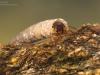 Case-building caddisfly larva (Oecismus monedula)