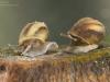 River snails (Viviparus contectus)