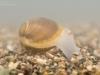 Solid orb mussel (Sphaerium solidum)