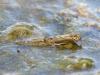 Summer mayfly (Siphlonurus lacustris) emerging
