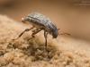 Riffle beetle (Elmidae)