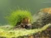 River snail (Viviparus sp.)