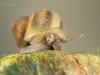 River snail (Viviparus contectus)