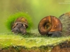 River snail (Viviparus sp.) and Great ramshorn snail (Planorbarius corneus), Europe, April, controlled conditions