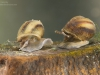 River snails (Viviparus sp.)