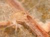 Scud (Gammarus sp.)