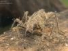 Skimmer dragonfly nymph (Libellula depressa)
