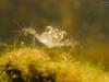 Skimmer dragonfly nymph (Sympetrum vulgatum)