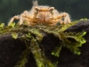 Spiketail dragonfly nymph (Cordulegastridae)