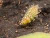Spongillafly larva (Sisyra fuscata)