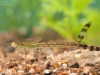 Spread-winged damselfly nymph (Lestidae)