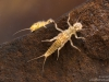 Stonefly nymphs (Isoperla sp.)