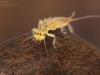 Stonefly nymph (Isoperla sp.)