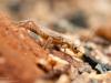 Stonefly nymph (Plecoptera)