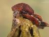 Case-building caddisfly larva (Glyphotaelius pellucidus)