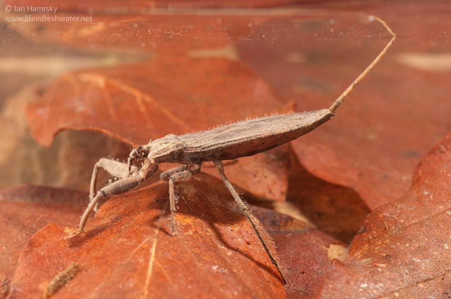 true bugs order hemiptera life in freshwater