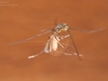 Water strider (Gerridae)