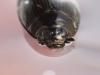 Whirligig beetle (Gyrinidae)
